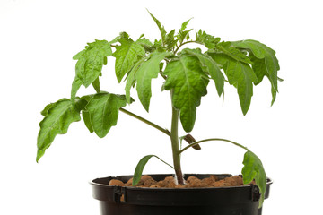 young tomato plant, isolated on white