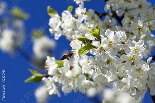 вишня цветет