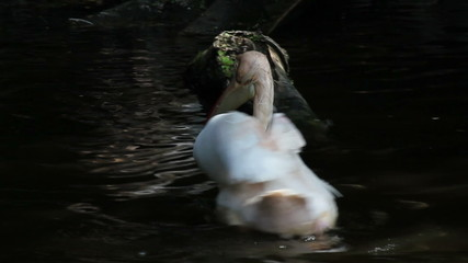 Pelikane im Teich