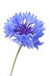 Fototapeten,kornblume,allein,blume,blau