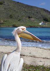Pelícano en la playa (Grecia)