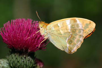 Fritillary Butterfly feeding on thistle flower