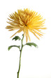 Yellow chrysanthemum flower isolated