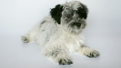 cute bichon havanese dog sitting