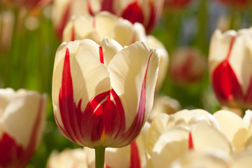 White red tulips