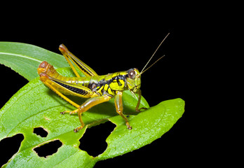 Grasshopper on leaf 4