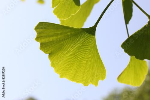 新緑の銀杏 © Saruri