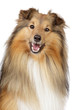Shetland sheepdog on a white background