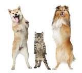 Fototapety Two dogs and cat stand on hind legs