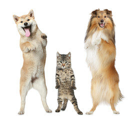 Two dogs and cat stand on hind legs