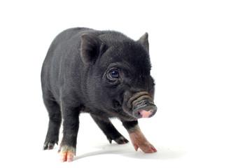 bébé cochon nain