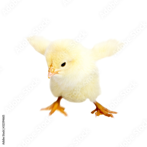 Little baby chicken trying to fly isolated on white