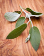Peruanischer Salbei (Salvia discolor) auf Olivenholz