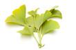 Ginkgo (Ginkgo biloba) - Büschel von Blättern