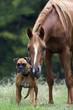 Fototapeten,pferd,equine,hund,haustier