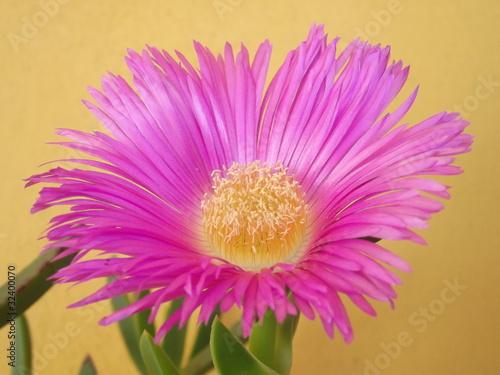 Foto op Plexiglas Magnolia fiore rosa