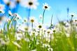 Fototapeten,frühling,sommer,gänseblümchen,frühling