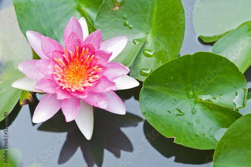 Leinwanddruck Bild Water Lily or Lotus Flower Floating on Pond