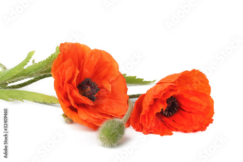 Flowers poppies isolated on a white background