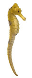 Longsnout seahorse or Slender seahorse poster