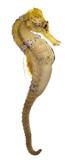 Longsnout seahorse or Slender seahorse, Hippocampus reidi yellow poster
