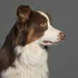 Close-up of Border Collie in front of grey background