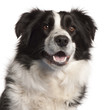 Close-up of Border Collie, 14 months old, in front of white back