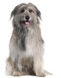Pyrenean Shepherd dog, 18 months old, sitting
