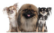 Two Chihuahuas, 3 years old and 10 months old, and a Pekingese,