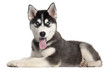 Siberian Husky puppy, 4 months old, lying