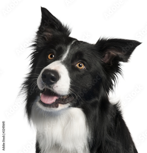 Close-up of Border Collie, 4 years old