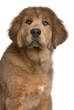 Close-up of Tibetan Mastiff puppy, 3 months old
