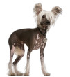 Chinese Crested Dog, 10 months old, standing