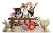 Three Chihuahuas, 1 year old, 8 months old, and 5 months old, si