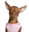Close-up of Chihuahua wearing pink, 11 months old