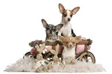 Three Chihuahuas with dog bed wagon - 32412488