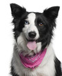 Close-up of Border Collie wearing pink handkerchief