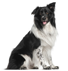 Border Collie, 3 and a half years old, sitting
