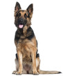 German Shepherd Dog, 2 years old,
