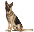 German Shepherd Dog, 2 and a half years old, sitting in front of