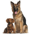 Dachshund, 8 years old, and German Shepherd Dog, 2 and a half ye