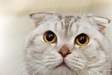 Gray scottish cat close up