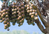 fruits comestibles du Latania lontaroides, Latanier Bourbon poster