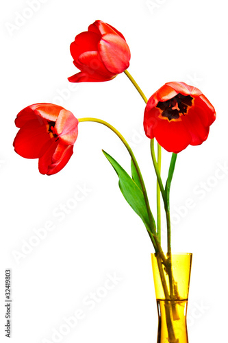 Spring tulips Isolated on white