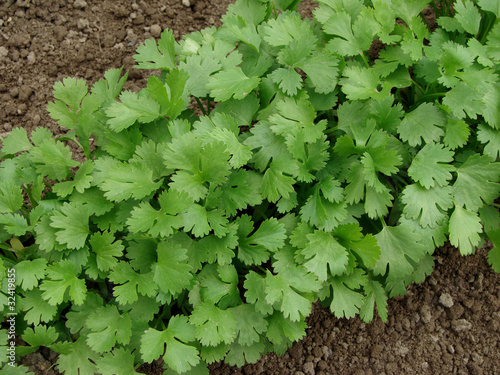 Coriandrum sativum on vegetable bed