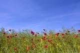 Poppy field against blue sky