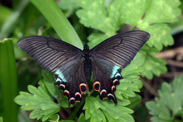 Chinese Swallowtail Butterfly