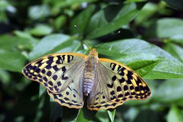 Cardinal Fritillary Butterfly