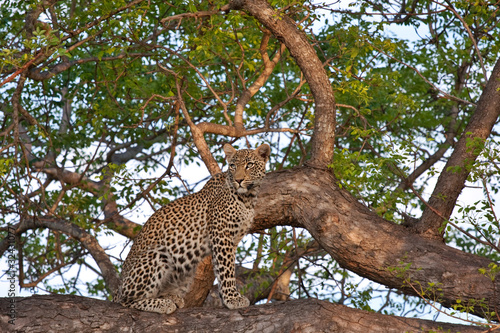 Canvas Luipaard african leopard in tree