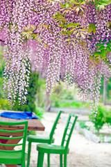Acacia in the garden